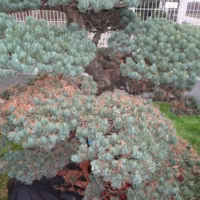 2 niwaki bonsai jesena starostlivost