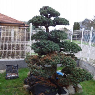 3 bonsai niwaki precistovanie ihlic