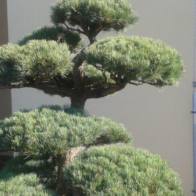 4 detail bochnikov pinus parviflora niwaki bonsai