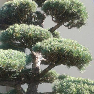 5 vetvenie konarov niwaki parviflora