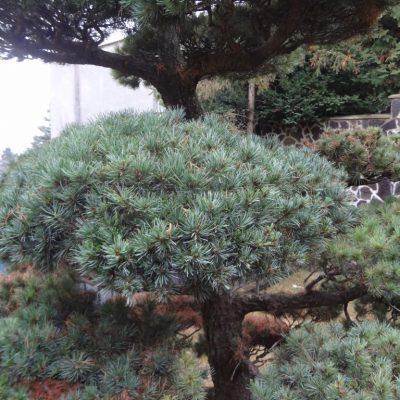 6 zaparacované bochniky pinus parviflora niwaki