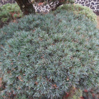 7 detail bochnika niwaki pinus parviflora