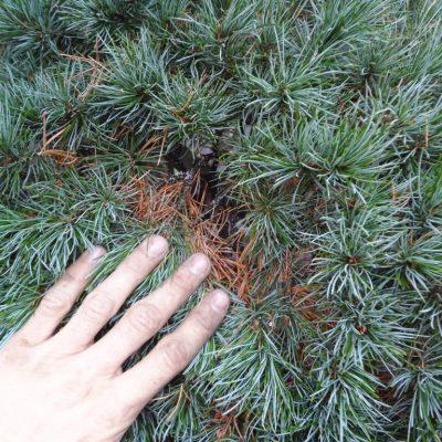 8 suche ihice zahradny bonsai